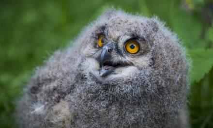 """<span class=""""entry-title-primary"""">Uhufióka kelt ki a veszprémi állatkertben</span> <span class=""""entry-subtitle"""">Az Európában és Ázsiában őshonos madár kerüli az emberlakta területeket</span>"""