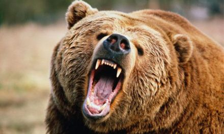 Újabb medvetámadás