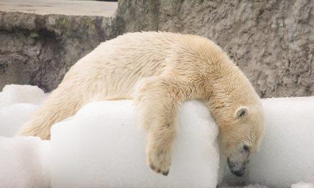 Jégtömbökkel kedveskedtek a jegesmaciknak