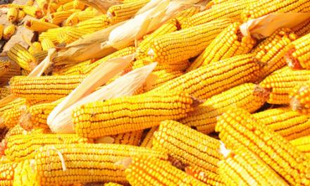 Megfelezte a kukoricatermést a szárazság