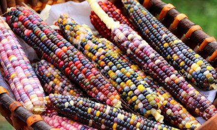 Itt a nem génmanipulált, színes kukorica!