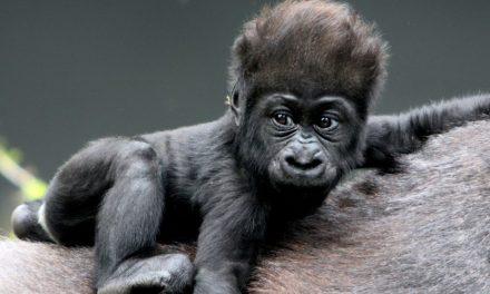 Gorillakölyök született Budapesten