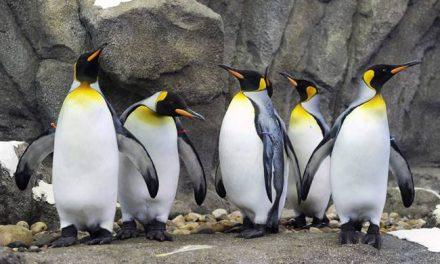"""<span class=""""entry-title-primary"""">Még a pingvineket sem engedik ki, annyira hideg van</span> <span class=""""entry-subtitle"""">Legalább mínusz 25 kell, hogy kiengedjék a királypingvineket az állatkertben</span>"""